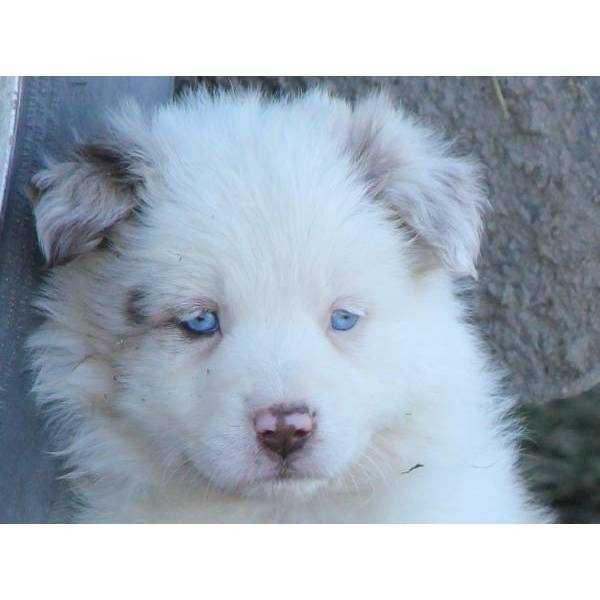 We just bought him!!!!!!!: Baby Blue, Animal 3, Cute Ideas, Beautiful Eyes, Blue Eyes, Animals 3, Dogs And Baby, Big Dogs, Aussie