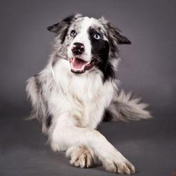 Самая умная собака - бордер-колли