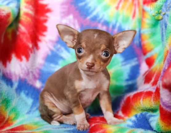 Lola Chihuahua Puppy For Sale In Spring Mills Pa Lancaster