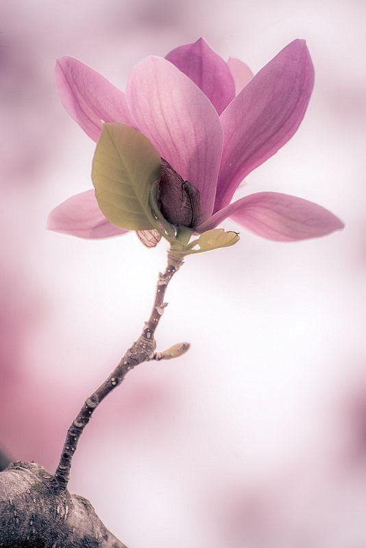Magnolia by rvtn**