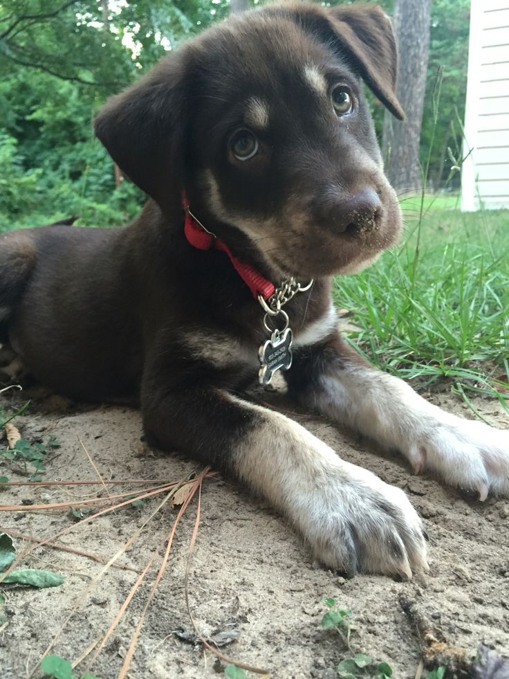 Chocolate lab husky mix! Sweet baby!