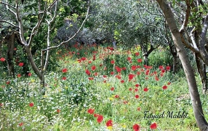 شقائق النعمان من قاعقعية الجسر النبطية جنوب لبنان Plants Red Peppercorn Peppercorn