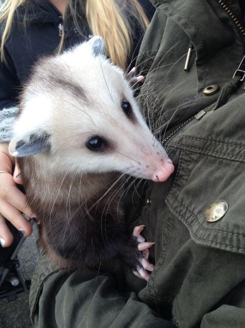 pet possum