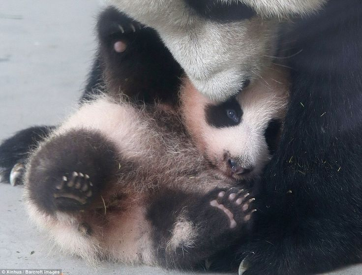 The cub is the child of 20-year-old panda Guo Guo, who gave birth to her on July 9. The pa...