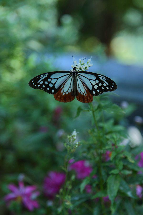 Butterfly In Japanese Garden
