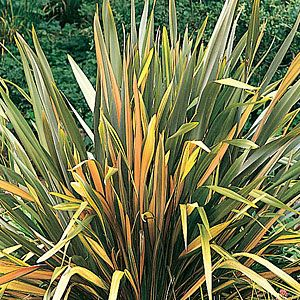 Phormium tenax 'Black Adder' New Zealand Flax