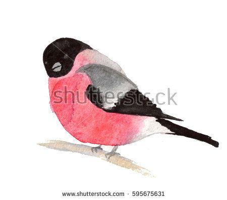 Watercolor painting bullfinch on white background