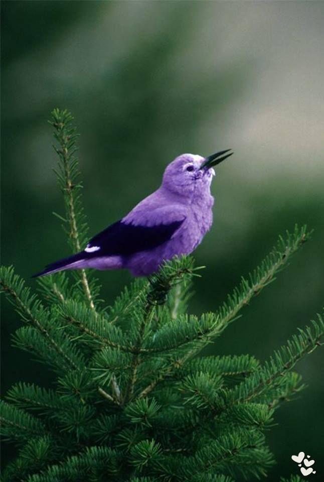 Little Purple Bird   (16) Raisa Ress