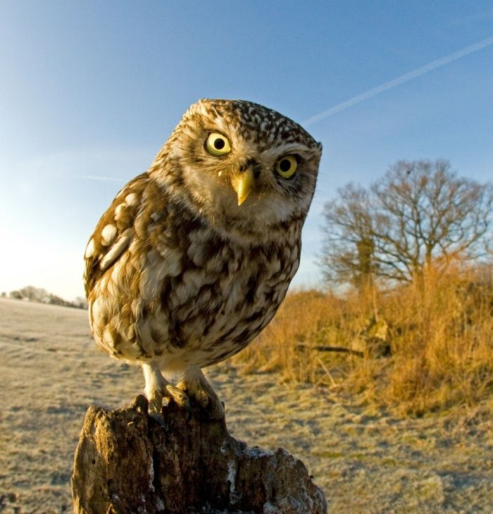 A little owl inspects a camera at the Stow Maries Aerodrome, Essex