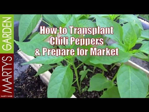 How to Transplant Chili Plants and Prepare for Market Sales http://martysgarden.com.au/ I am really excited to start the trials of my Chili Pepper plants, an...