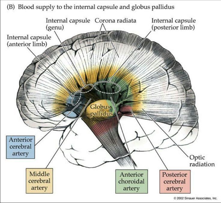 Image result for internal capsule