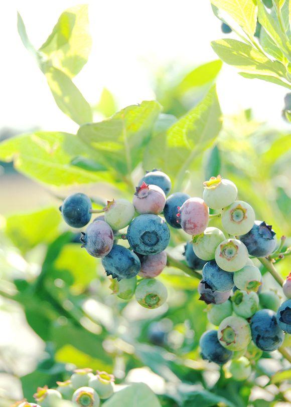 *ブルーベリー   落葉低木  開花期 4月中旬  成熟期8月頃   剪定  12月〜1月 (植え付け2・3年は花芽を切り取り株を大きくする)  酸性土壌を好む  ピートモスや鹿沼土をまぜる。  肥料  冬期に寒肥  油粕2 骨粉1          3月 化成肥料10-10-10