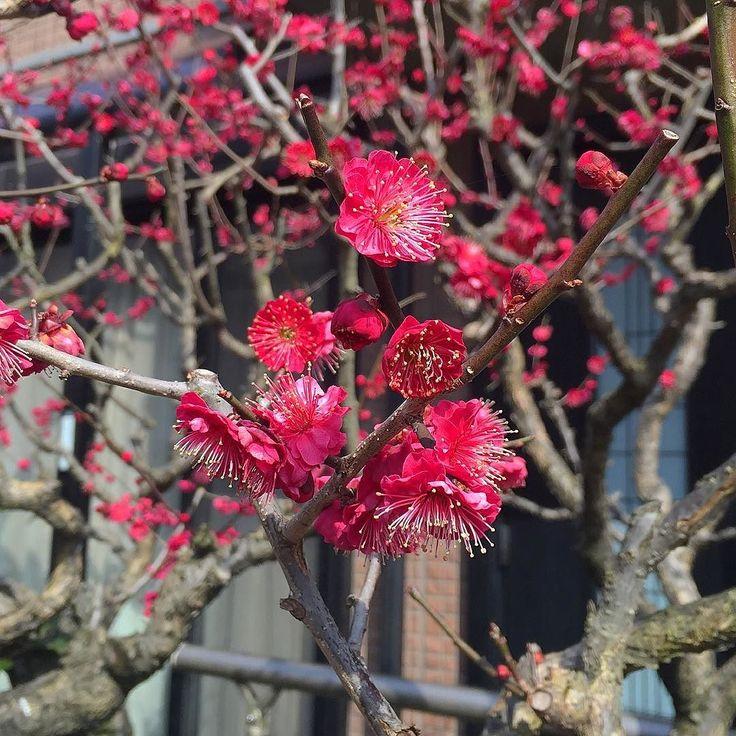 Под окнами расцвела пушистая слива  #Киото #умэ #Япония  #японскийсад  #цветы #весна #слива #абрикос #цветение #водворе #скоролето #настойка #ликер