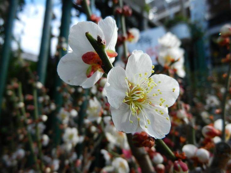 12月23日の誕生日の木は「トウジバイ(冬至梅)」です。 バラ科サクラ属の落葉小高木。トウジバイはウメの園芸品種のひとつで、冬至のころから花を開きます。学名は、Prunusmume 'Touji'。属名のPrunusは「plum(スモモ)」を意味し、種小名のmumeは「梅」のことです。 名前の由来は、もちろん冬至の頃から花を開くことから。7月から8月に花芽分化した蕾の休眠が浅く、少しの寒さでも目覚めてしまい、多くのウメの品種の先陣を切って開花します。 樹高は3m~6m。枝は細く、葉は楕円形で、互い違いに生えます。開花時期は12月~2月。野梅(やばい)系の早咲きの品種で、白い一重咲きの中輪(花径20mm~25mm)。花の後にできる実は6月~7月頃に熟します。