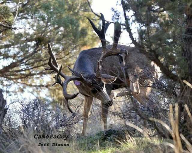 Deer with large set antlers hiding behind trees and hunter says Holy Crap! What a Monster!
