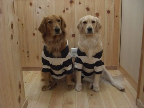 Bwahaha - most. appropriate. costume. evah!: Strange Dogs, Dogs Law, Dogs Dogs Dogs, Dogs Tail, Wear Stripes, Dresses Teddy, Arrested Sisters, Photo, Bad Dogs