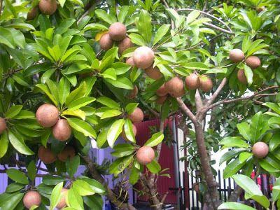 Pohon buah | sawo cangkokan | pohon sawo murah | Tukang Taman