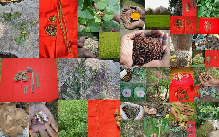 Medicinal Rice based Tribal Medicines for Diabetes Complications and Metabolic Disorders (TH Group-724) from Pankaj Oudhia's Medicinal Plant Database. (Encyclopedia of Tribal Medicines by Pankaj Oudhia)