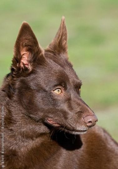 AUSTRALIAN KELPIE looks so much like my dog Shayna
