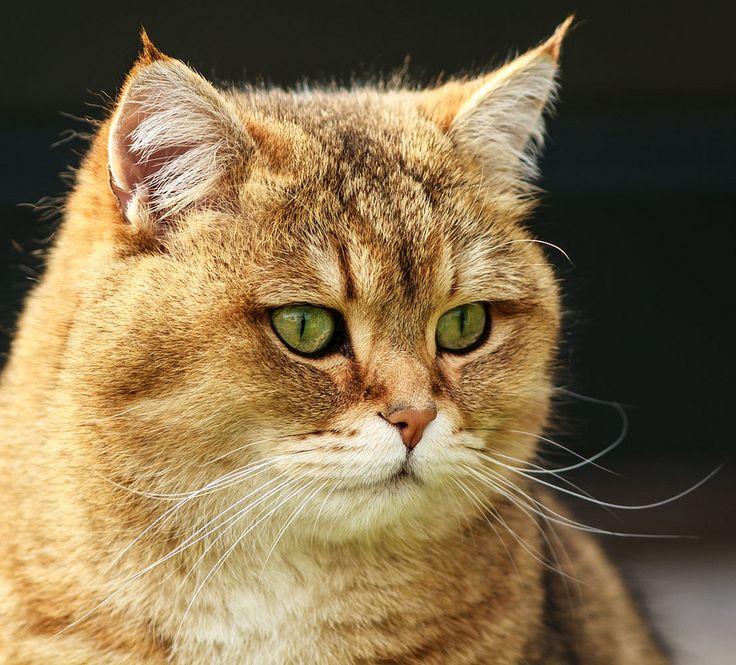 Golden Shaded British Shorthair