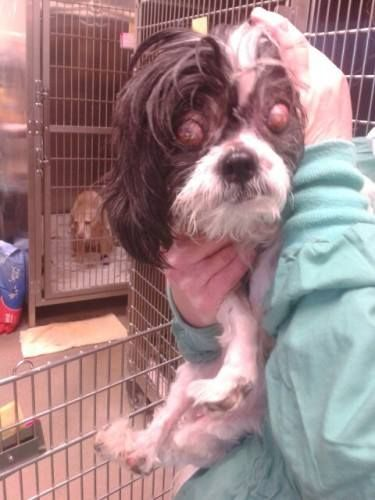 BEYOND URGENT!!! York, PA; Terrified, Blind Shih Tzu **PLEASE HELP** NEEDS OUT ASAP!!! SHELTER IS OUT OF SPACE!!! https://www.facebook.com/photo.php?fbid=341467289329689&set=a.333299846813100.1073741877.225835284226224&type=1&theater