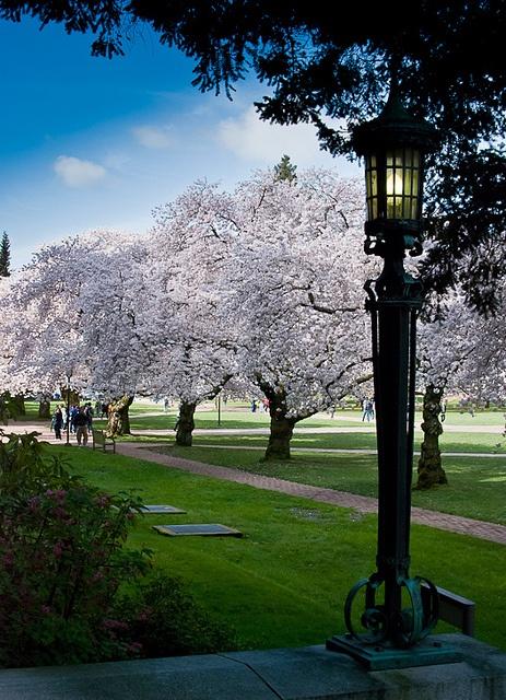 Cherry trees: Cherry Tree