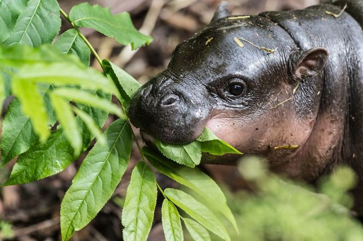 Baby Pygmy Hippo. Photo credit: Zoo Basel==mum=do=i=look=to=fat=today=and=i=go=for=a=run=from=peter=horgan