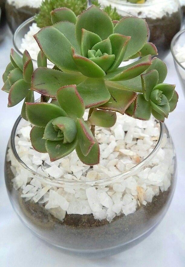 Aeonium haworthii en esfera de vidrio