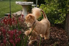 lion cut persian cat