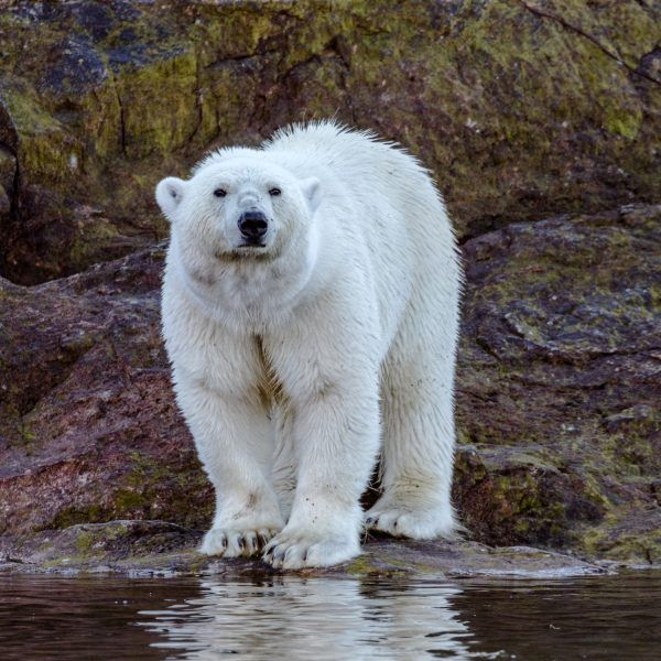 A study released this week (Sept. 12, 2016) is shedding new light on how scientists evaluate polar bear diet and weight loss during their fasting season. On average, a polar bear loses up to 30 percent of its total body mass while fasting during the... #conservation #polarbears #sandiegozooglobal