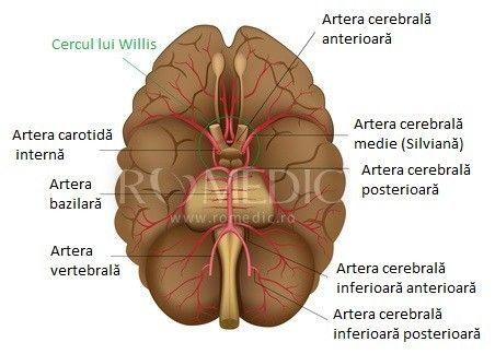 Vascularizatia cerebrala - poligonul lui Willis