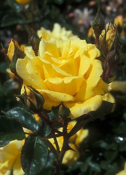 """Allgold"" Floribunda Rose"