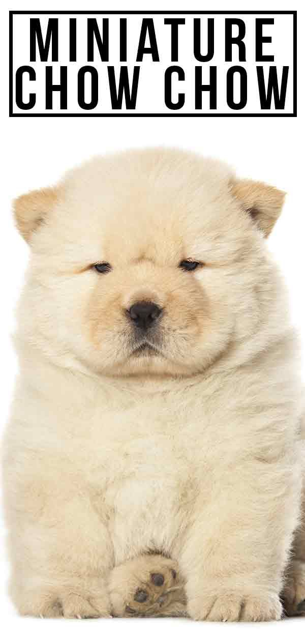 Miniature Chow Chow Everything You Need To Know About This