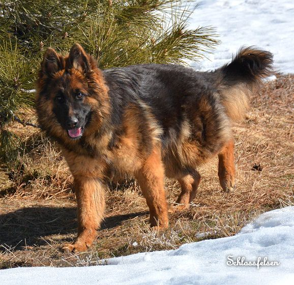 Best 20  Long coat german shepherd ideas on Pinterest | German ...