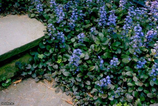 Pretty for around the coming patio.  Carpet Bugle Ajuga reptans Atropurpurea, Common Bugelweed, Bugleweed, Carpet Bugleweed, Carpetweed