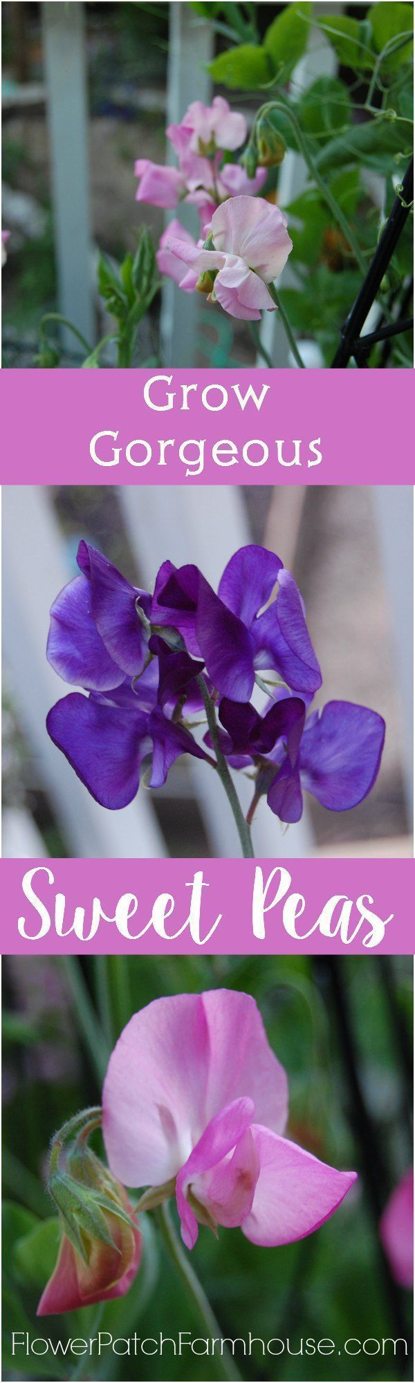How to Grow Gorgeous Sweet Peas, it is so easy and the payoff is oh so sweet! http://FlowerPatchFarmhouse.com