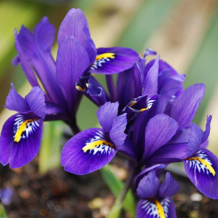 best 25 iris reticulata ideas on pinterest iris wedding. Black Bedroom Furniture Sets. Home Design Ideas