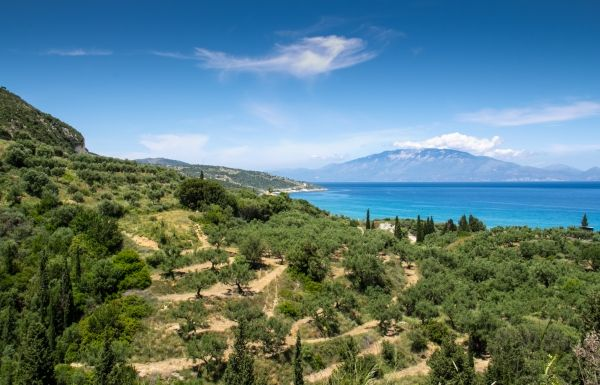 Olive trees and the sea