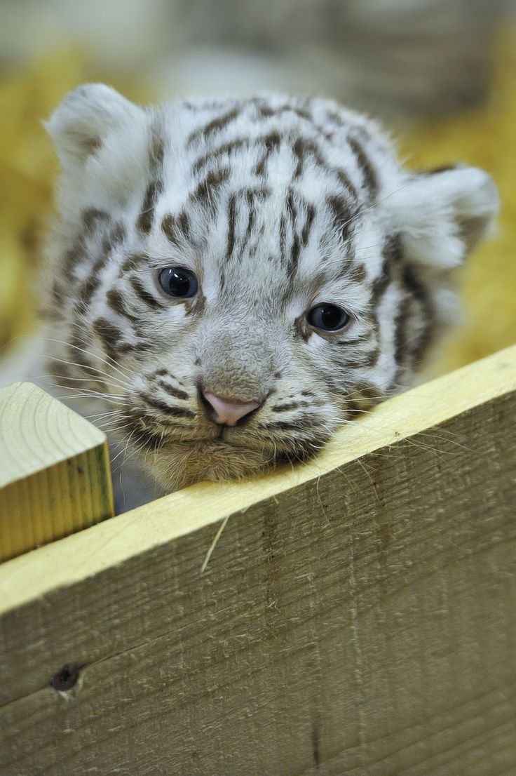 A Cute Tiger Cub.                                                                                                                                                                                 More