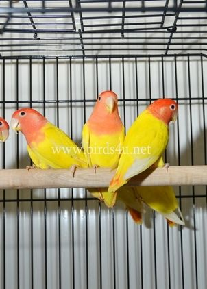 Birds for Sale and parrots for Sale. Search and browse poultry, birds of prey and parrots for sale in West Midlands, West Midlands, place an ad for free