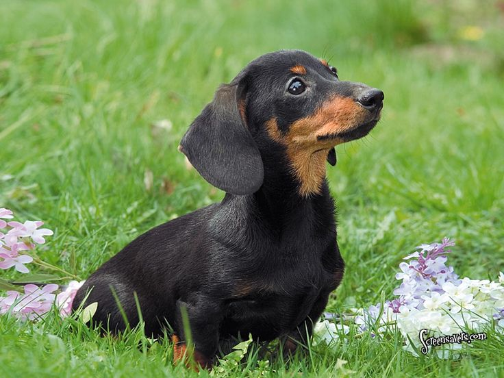 Dachshund. They are members of the hound group. They are great badger hunters and companions. They weigh about 16-32 pounds.