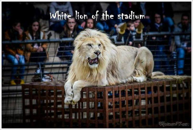 Lion blanc du stadium (Puy du Fou)   Les lions de Thierry Le Portier participent aussi bien à des spectacles, comme ici au Puy du Fou, qu'à des tournages de films ou des pubs.... (d'autres félins comme des tigres sont en prestations au Fort Boyard sous la direction de Félindra - Monique Angeon)  https://youtu.be/d0ppeAGsckA  #PuyduFou #Stadium #Romain #Gladiator #Cinéma #FortBoyard #lion #signedutriomphe #thierryleportier #dresseur