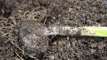 Odborník radí: Ako predísť hubovým chorobám na cesnaku?