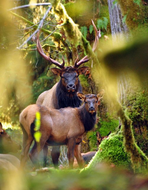 Roosevelt elk, the largest of the four surviving subspecies of elk in North America