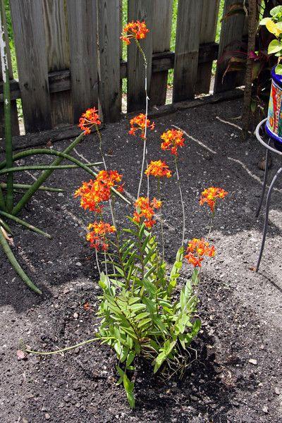 Epidendrum Radicans Orange Flowering Ground Orchid