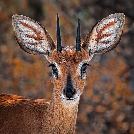 Don't know what this animal is called. Antelope? So beautiful. > this may be a duiker.  There's a couple other small deerlike animals with similar small horns.