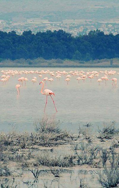 Salt Lake and pink flamingos.. Larnaca, Cyprus