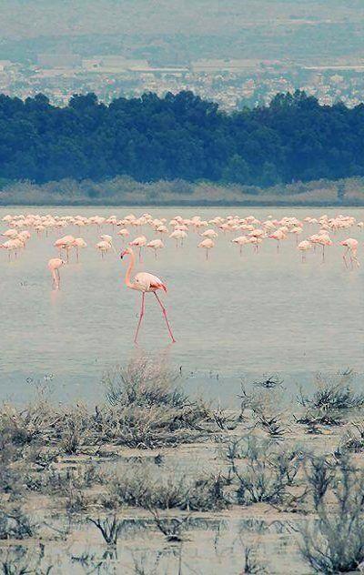 Salt Lake and pink flamingos.. Larnaca, Cyprus