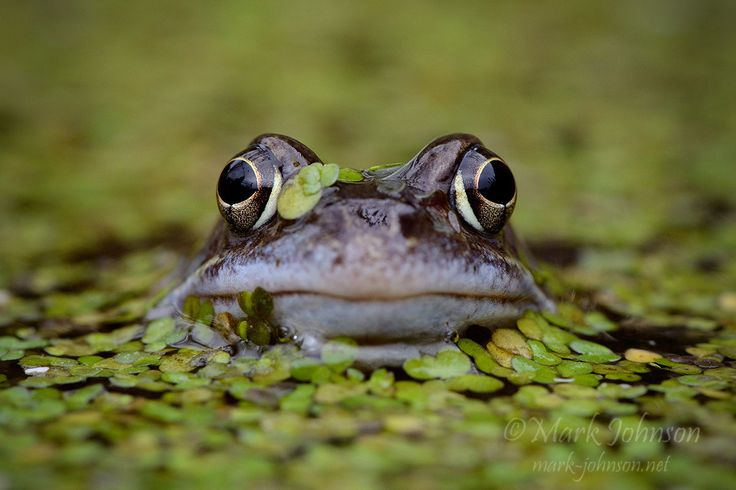 Common Frog (Rana temporaria ) by Mark Johnson on 500px