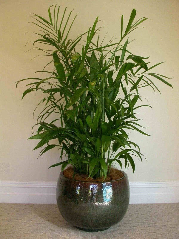Best 20 bamboo palm ideas on pinterest best whole house humidifier humidifier and air - Plants for every room in your home extra comfort and health ...